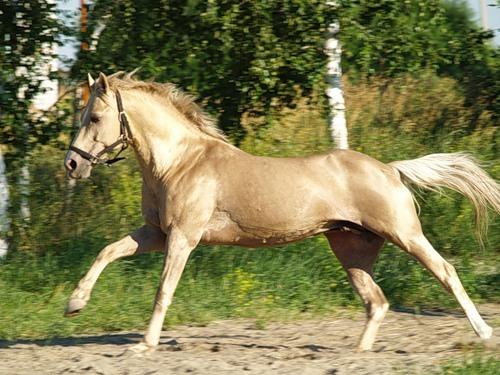 Американская кремовая лошадь