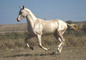 Ахалтекинская лошадь изабелловой масти