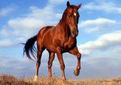 Разновидности лошадей бурой масти