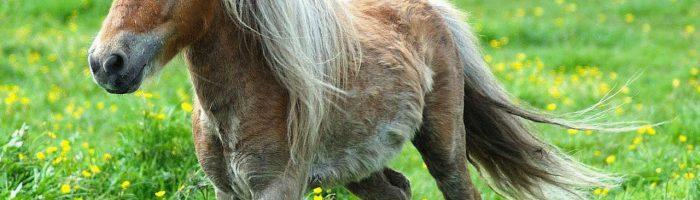 Миниатюрные лошади породы Фалабелла