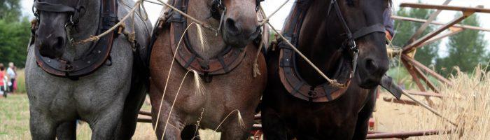 Литовский тяжеловоз — породы лошади